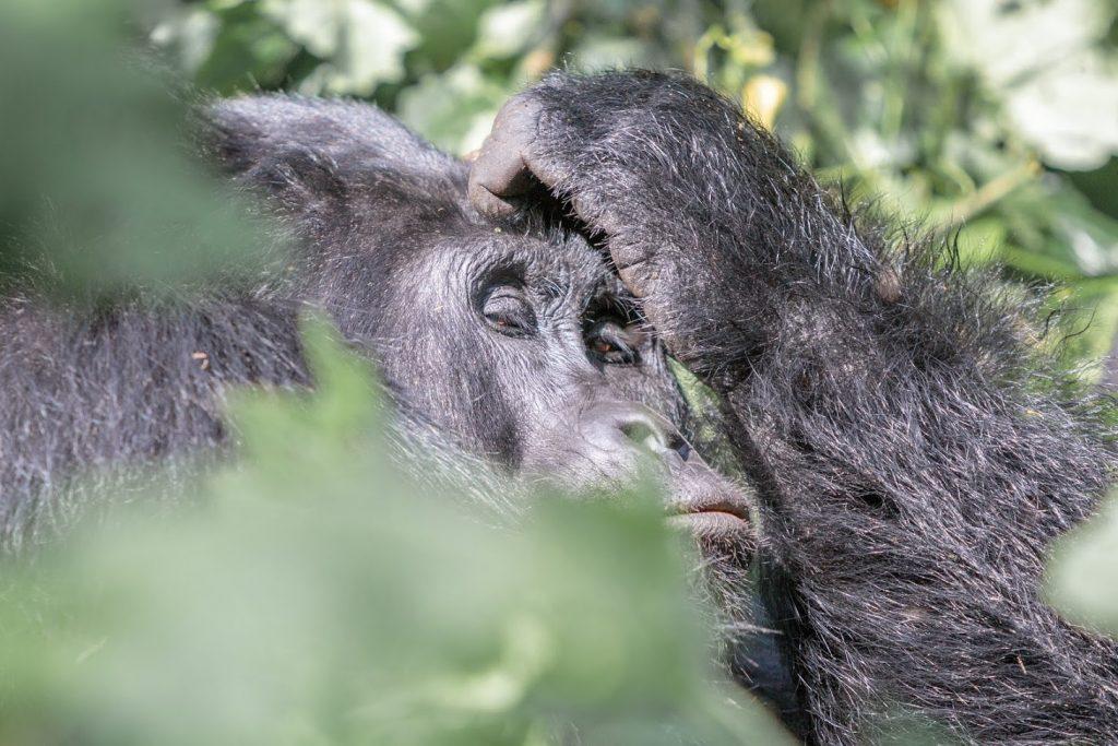 Gorilla trekking in Uganda, Acacia Africa (c) IG @thecuckooproject