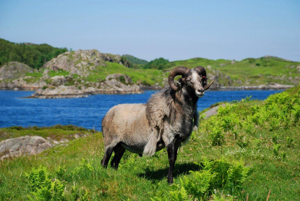 Old Norwegian sheep (Nordhordland - Norway) © UNESCO/Inger Elisabeth Måren/Nordhordland - Norway