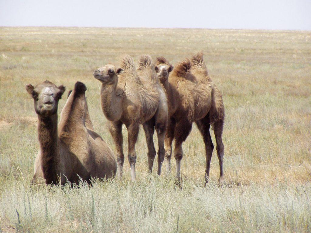 """Camels. State Budget Organization """"Elton Nature Park"""". © UNESCO/Elton Nature Park"""
